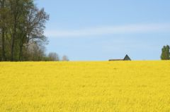 Campagne normandie champs jaune